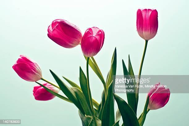 tulips - vanessa van ryzin stock photos and pictures