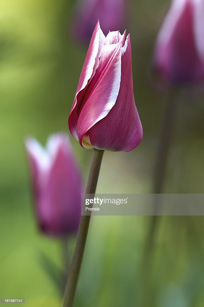 Tulips : Stock Photo