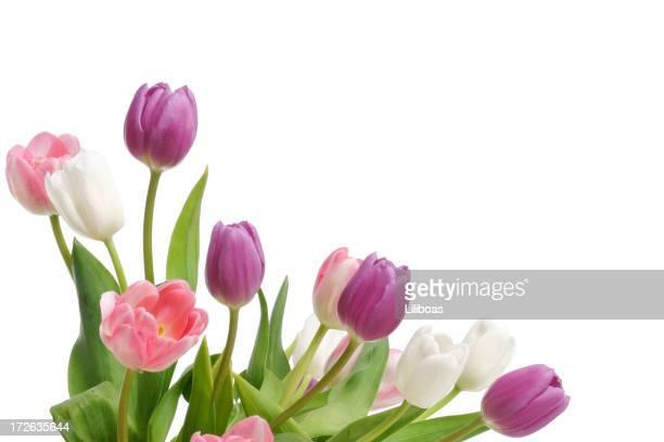 Tulips (XL)