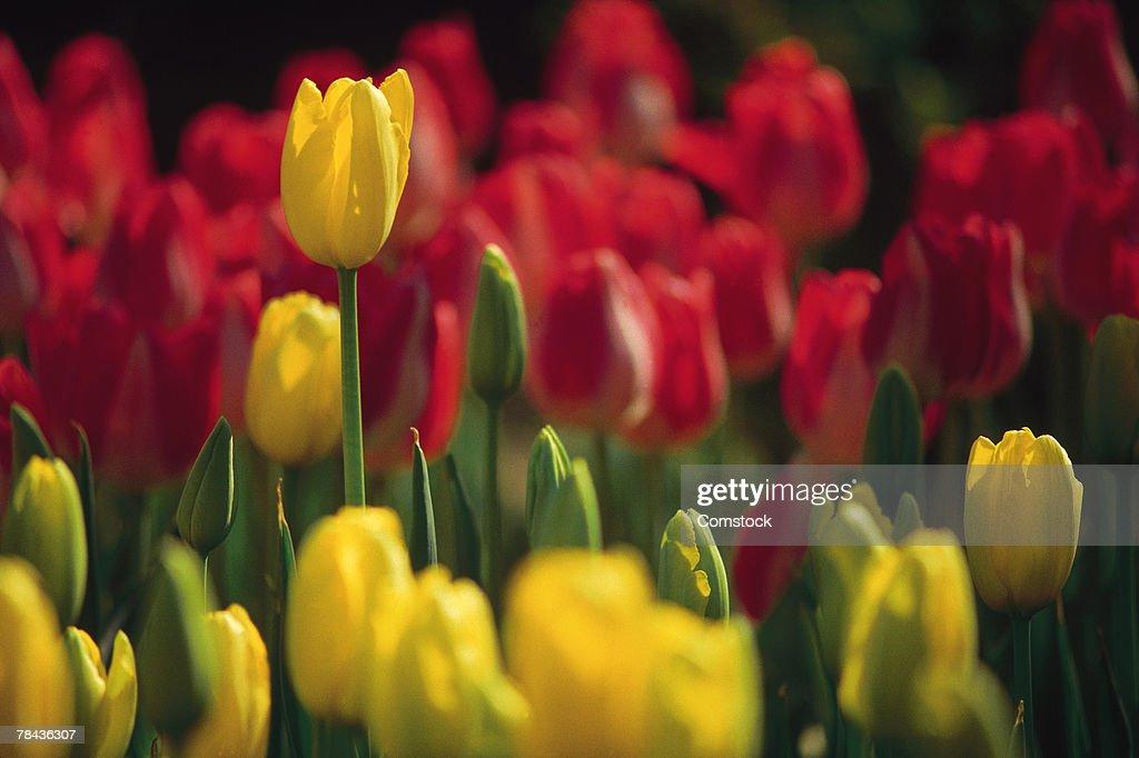 Tulips : Stockfoto
