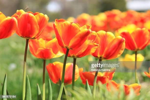 tulips - california golden poppy stock pictures, royalty-free photos & images