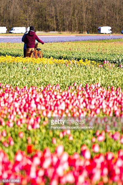 Tulips row in Lisse, Netherlands