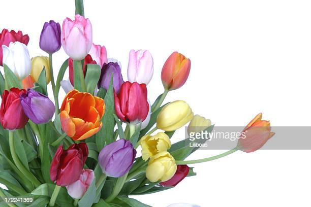 Tulpen-Serie (mit copyspace