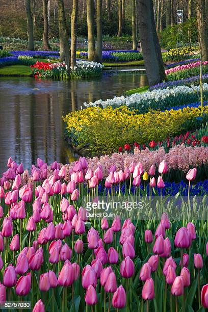 tulips & spring bulbs flowering along waters edge - keukenhof gardens stock pictures, royalty-free photos & images