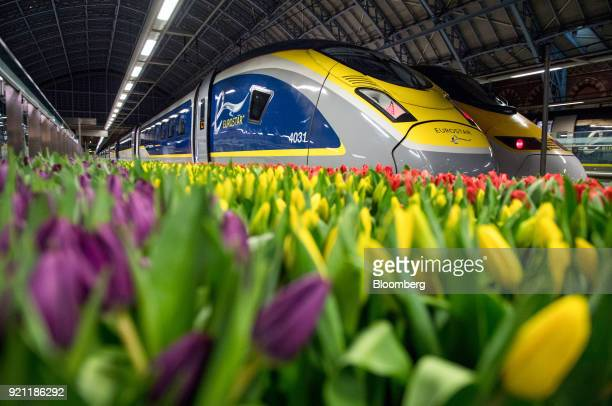 Tulips stand on display near a Eurostar International Ltd passenger train during the inauguration of the London to Amsterdam route at London St...