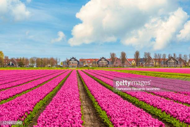 tulips, windmills and flowers in springtime, northern amsterdam, netherlands. - iacomino netherlands foto e immagini stock