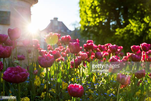 Tulips with sun flare in the background in the Luxembourg Gardens, Paris, France