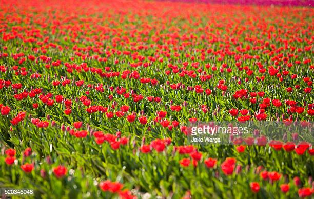 tullips - jake warga stock photos and pictures