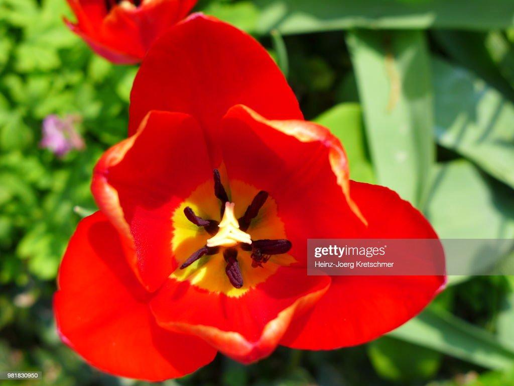 Tulpe Japanischer Garten Bad Langensalza Stock Photo Getty Images