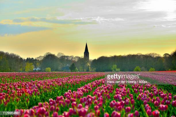 tulpen in drenthe - drenthe stock pictures, royalty-free photos & images
