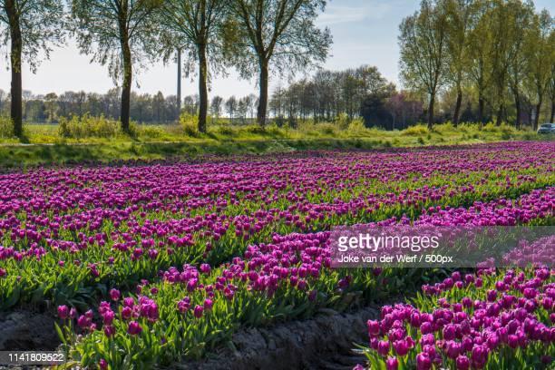 tulpenvelden - 干拓地 ストックフォトと画像