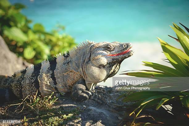 Tulum Iguana