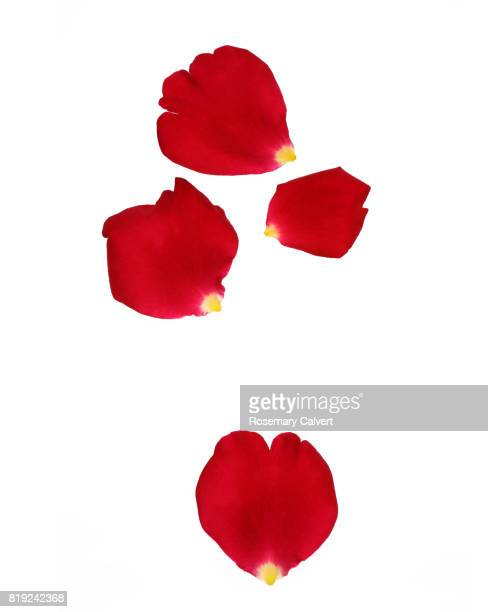 tumbling fragrant red rose petals on white. - rose petals stock pictures, royalty-free photos & images