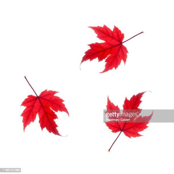 three red maple leaf tumbling white