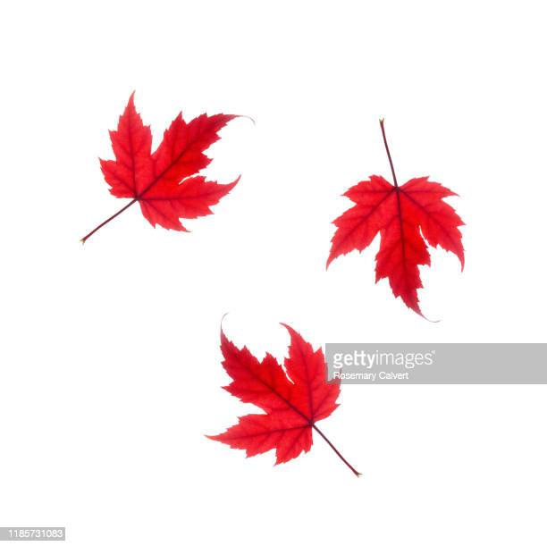 three red maple leaves tumbling across
