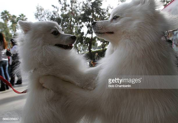 'Tumoki' from Santa Monica and 'Baluchi' from Colorado both 'American Eskimo' breed dogs meet each other as the nation's top conformation agility and...
