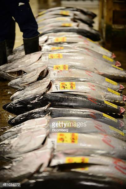Tuna are laid out for inspection prior to the year's first auction at Tsukiji Market in Tokyo Japan on Monday Jan 5 2015 Auctions at Tsukiji the...