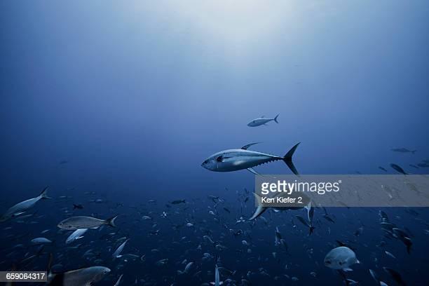 Tuna chasing baitfish, Socorro, Mexico
