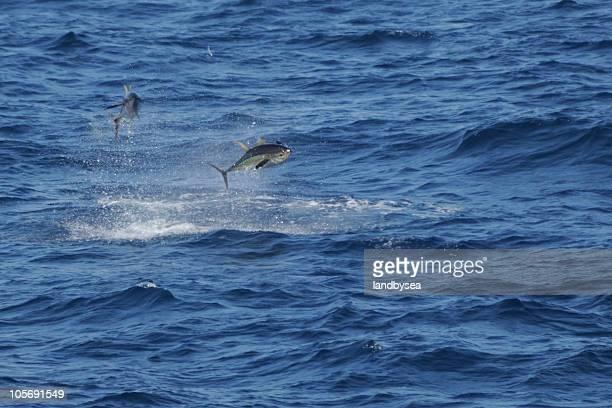 Thon poursuivre Flying Fish