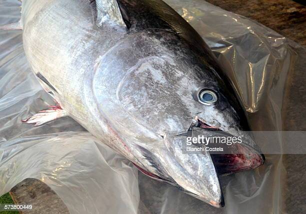 Tuna fish fishing by Almadraba method
