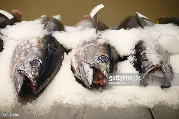 Tuna for sale are seen on display during the Easter auction at the Sydney Fish Market on March 24 2016 in Sydney Australia The auction comes ahead of...
