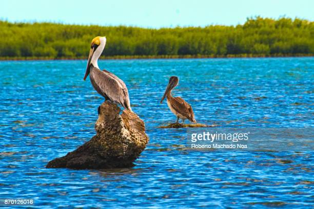 tunas de zaza, cuba: pelican birds perched in between dives for capturing fish - brown pelican stock photos and pictures