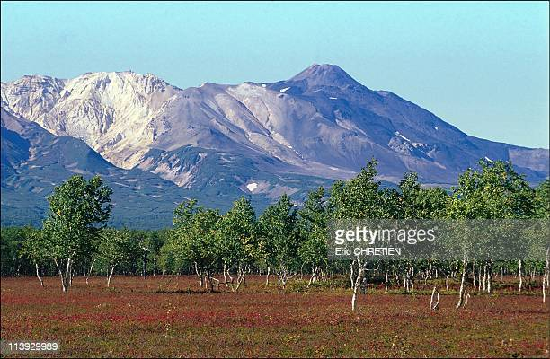 Tundra Glowing And Alder Forest Before The Volcano Kirpinitch Kamtchatka In Russia In 1999From the month of August Tundra offers richly all kinds of...