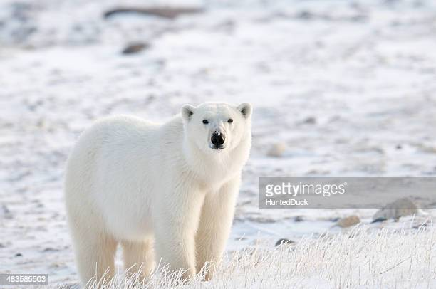 tundra polar - polar bear stock pictures, royalty-free photos & images