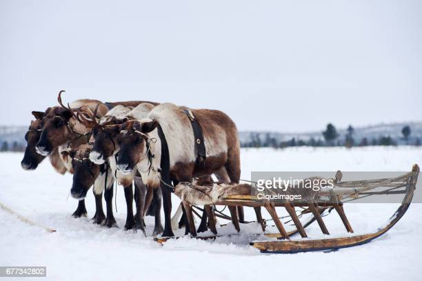 tundra reindeer resting near sled - cliqueimages stock pictures, royalty-free photos & images