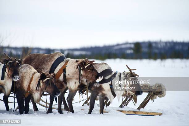 tundra reindeer waiting for ride - cliqueimages stock pictures, royalty-free photos & images