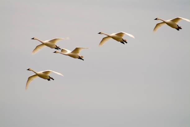 Tundra Swans Flight - Fine Art prints