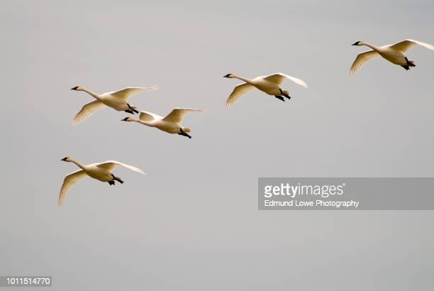 tundra swans in flight. - emigration och immigration bildbanksfoton och bilder