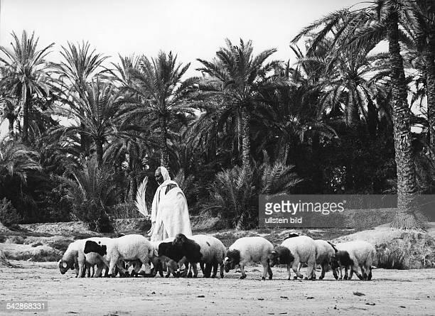 Tunesien - Mann huetet Schafe- undatiert