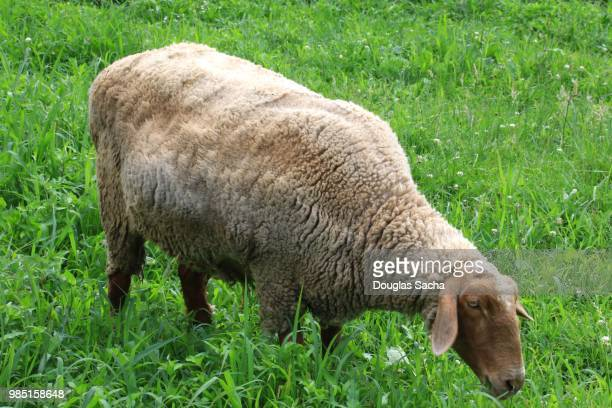 Tunis sheep grazing in the field (ovis aries)