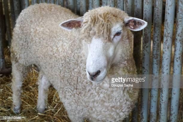 Tunis sheep in the barn (ovis aries)