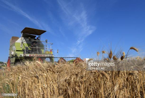 Tunisian farmer harvests wheat, on June 12 in the agricultural region of Jedaida, some 30 kilometres northwest of the capital Tunis. - Tunisian...