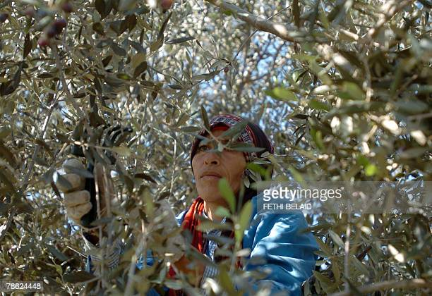 A Tunisian woman picks olives 22 December 2007 in Sabbalet Ammar near Tunis 5 percent of the world olive trees grow around the Mediterranean Spain...