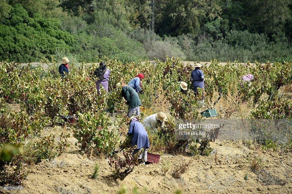 TUNISIA-WOMEN-AGRICULTURE-WINE : News Photo