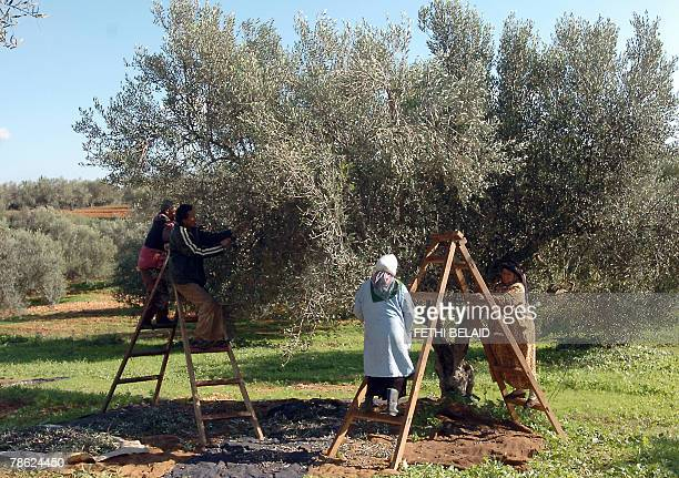 Tunisian workers pick olives 22 December 2007 in Sabbalet Ammar near Tunis 5 percent of the world olive trees grow around the Mediterranean Spain...