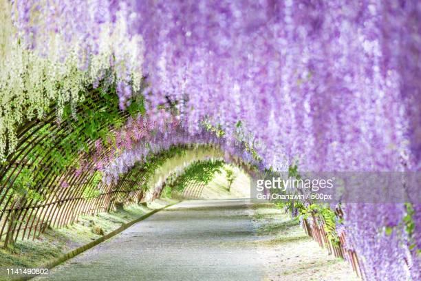tunnel made of wisteria branches - glicine foto e immagini stock