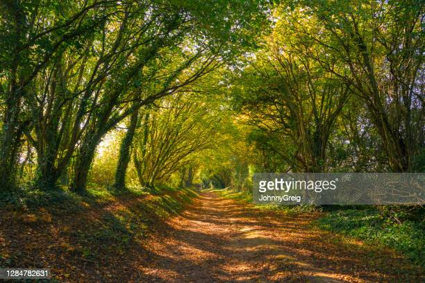 tunnel of trees down country path - tree stock pictures, royalty-free photos & images
