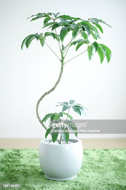 tupidanthus - queensland umbrella tree stock pictures, royalty-free photos & images