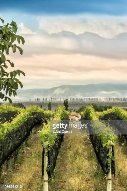 tupungato´s vineyards in the mendoza wine region, argentina. - argentina america del sud foto e immagini stock