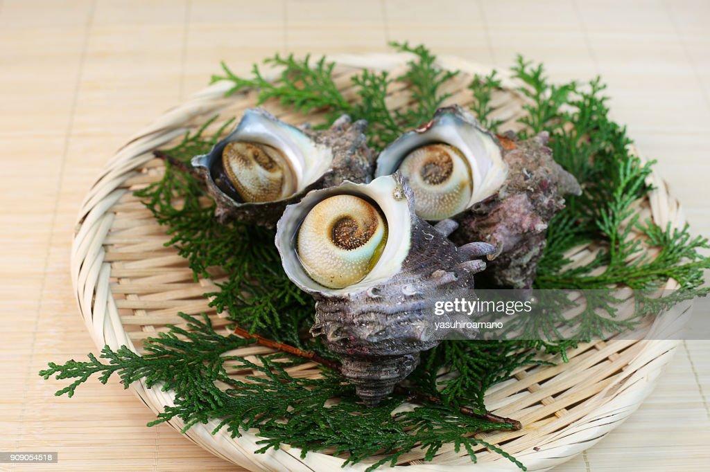 Turban shell : Stock Photo