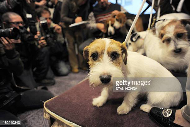 Turbo a Russell Terrier poses before a press conference January 28 2013 by The Westminster Kennel Club to introduce two new breeds that will compete...