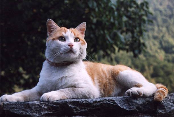 Turbolenzo (Katze von Nora von Collande), Tier, Haustier, Halsba ...