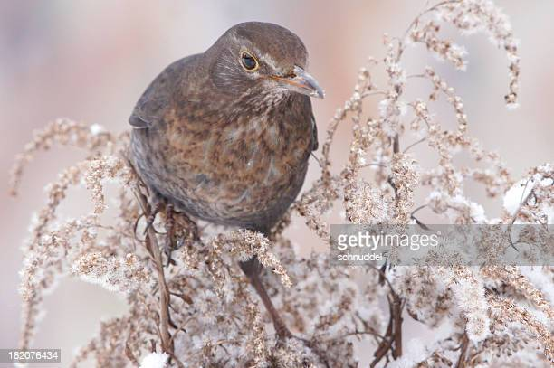 turdus merula in wintertime - merel stockfoto's en -beelden