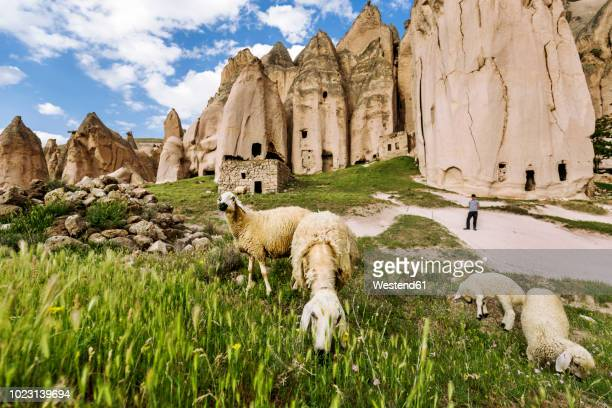 turkey, aksaray province, guzelyurt, selime, sheep grazing on pasture - animal behaviour stock pictures, royalty-free photos & images