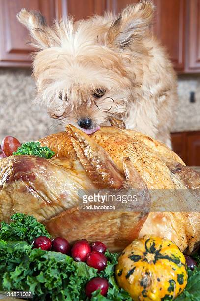 turkey and dog - thanksgiving dog stock photos and pictures