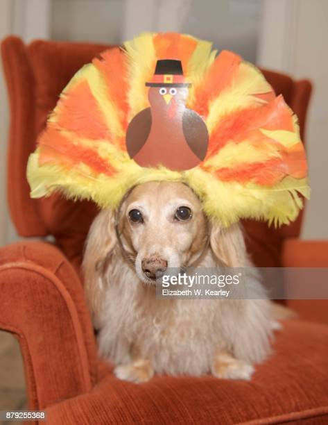 turkey dog - thanksgiving dog stock photos and pictures